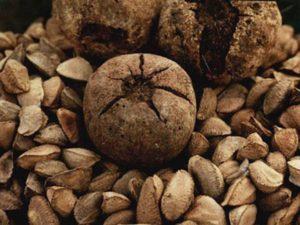 Бразильский орех и его зерна